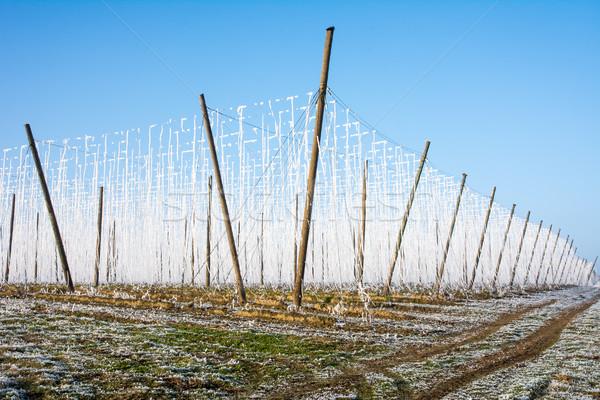 Landscpae with a fozen hop garden Stock photo © manfredxy