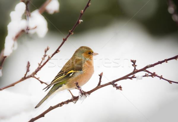 Pássaro sessão neve coberto árvore Foto stock © manfredxy