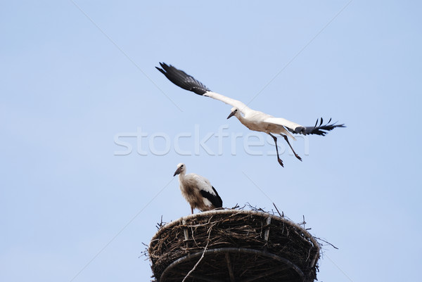 Cicogna battenti bambino nido uccello piuma Foto d'archivio © manfredxy