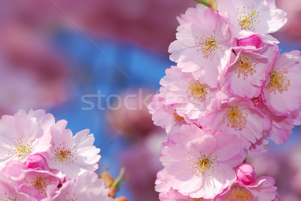 Stock photo: Cherry blossoms