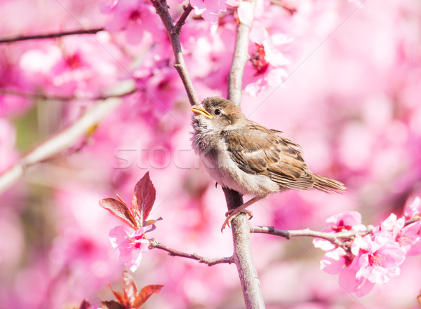Sparrow in flowering peach tree Stock photo © manfredxy
