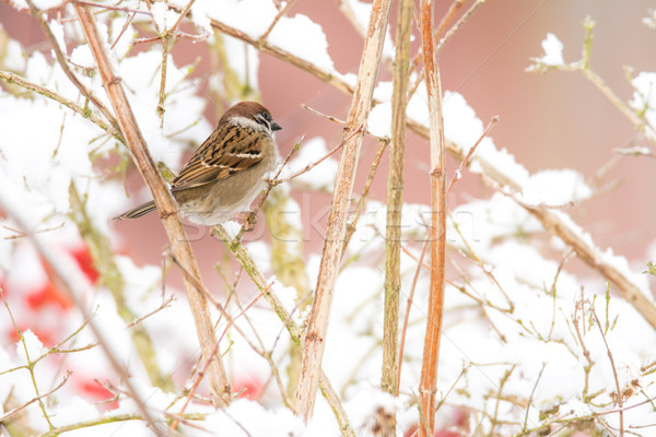 árvore pardal sessão arbusto coberto neve Foto stock © manfredxy
