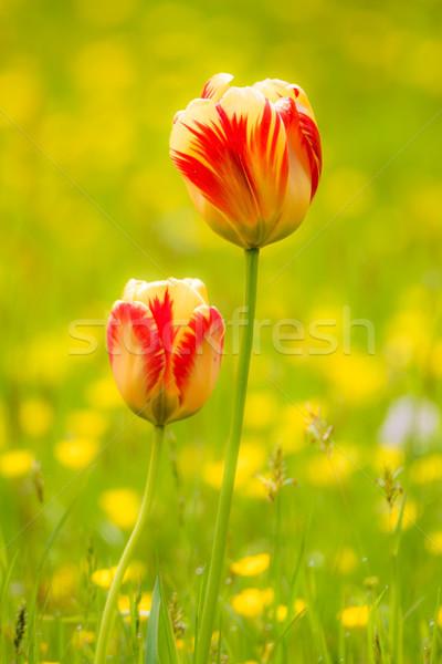 Tulipany kwiat łące wiosną sceniczny charakter Zdjęcia stock © manfredxy