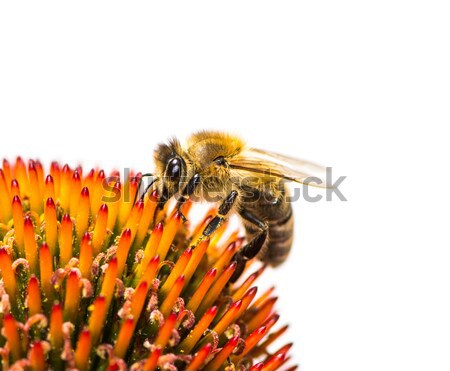 Bee collecting nectar at a conflower blossom Stock photo © manfredxy