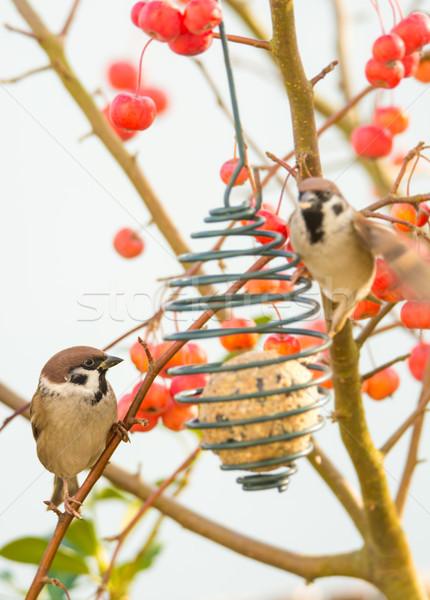 дерево сидят птица яблони природы фрукты Сток-фото © manfredxy