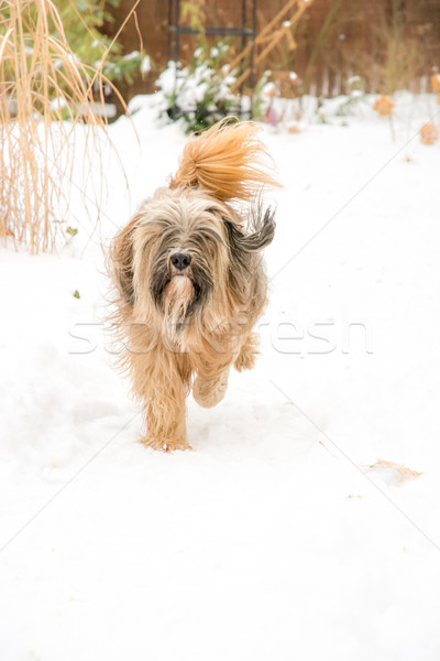Tibetan terrier dog running in the snow. Stock photo © manfredxy