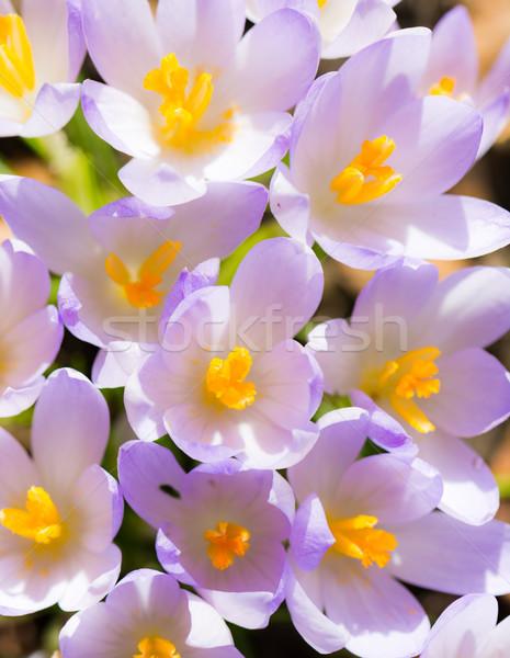 Viola crocus fiore fiori primavera tempo Foto d'archivio © manfredxy