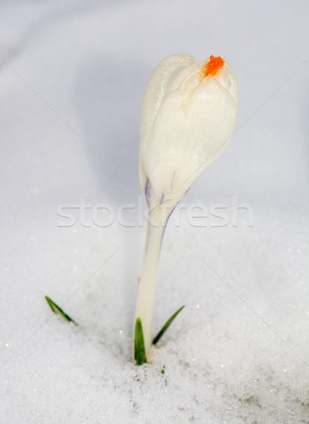 Blanco azafrán flor nieve macro primavera Foto stock © manfredxy