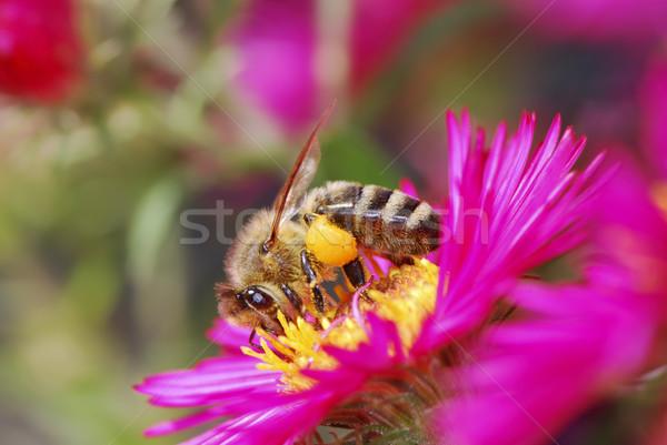 Méh gyűjt virágpor lila természet ősz Stock fotó © manfredxy