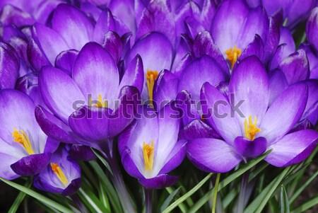 çiğdem çiçekler bahçe bahar çiçek bitkiler Stok fotoğraf © manfredxy