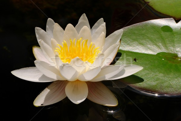 Water lily Stock photo © manfredxy