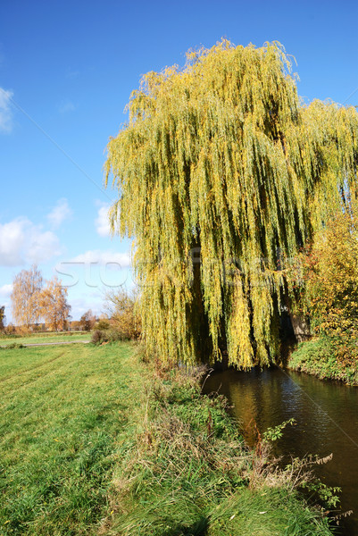 Weeping Willow Stock photo © manfredxy