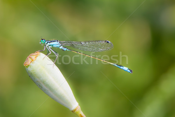 Common Bluetail Damselfly Stock photo © manfredxy