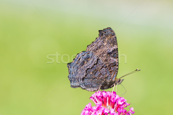 Peacock butterfly collecting nectar Stock photo © manfredxy