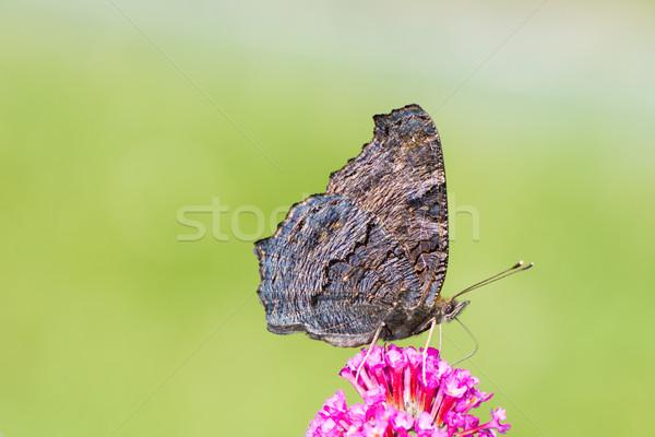 Pauw vlinder verzamelen nectar bloem natuur Stockfoto © manfredxy