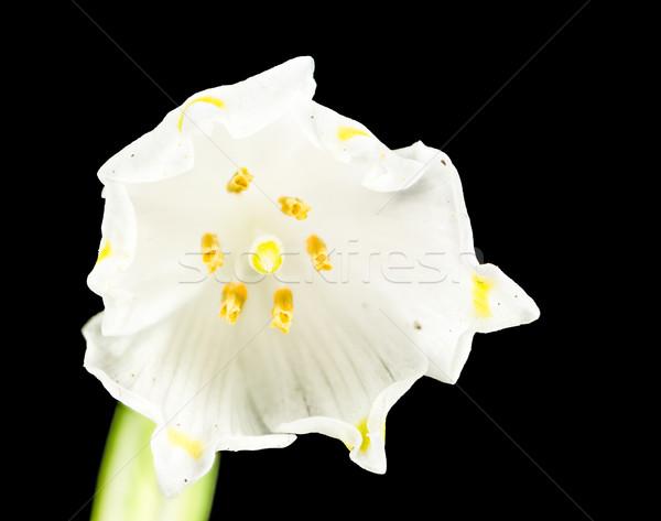 Voorjaar sneeuwvlok bloem geïsoleerd zwarte macro Stockfoto © manfredxy