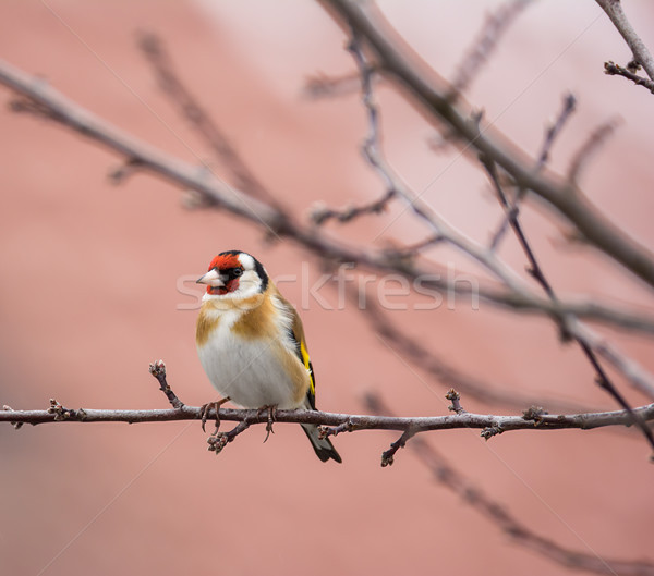 European goldfinch sitting on the branch of a tree Stock photo © manfredxy