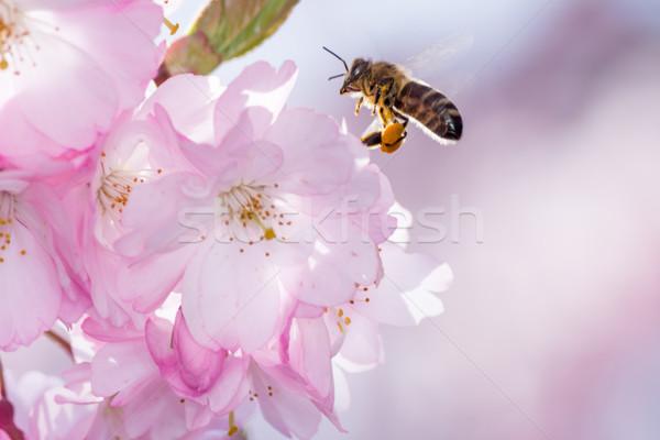Abeja floración cereza árbol abeja vuelo Foto stock © manfredxy
