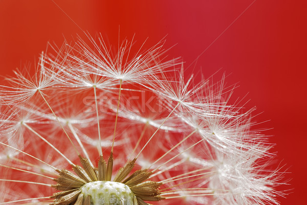 Dandelion seeds Stock photo © manfredxy