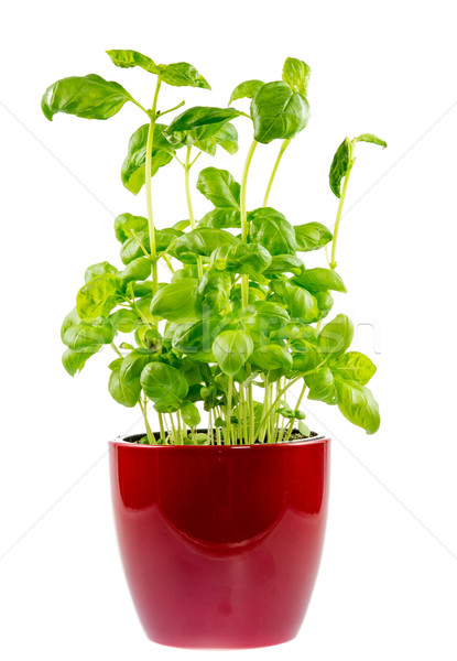 Isolated basil plant in a ceramic pot Stock photo © manfredxy