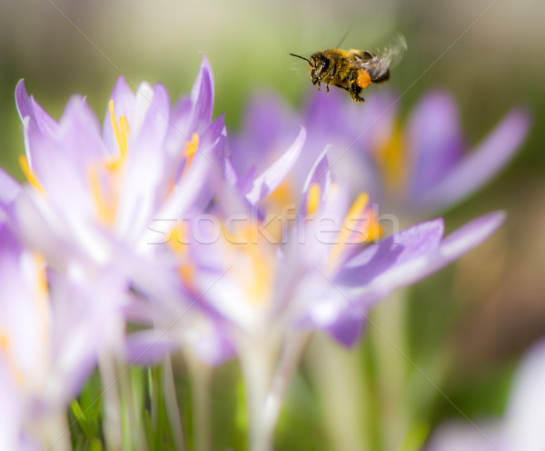 Stock photo: Flying honeybee pollinating a purple crocus flower