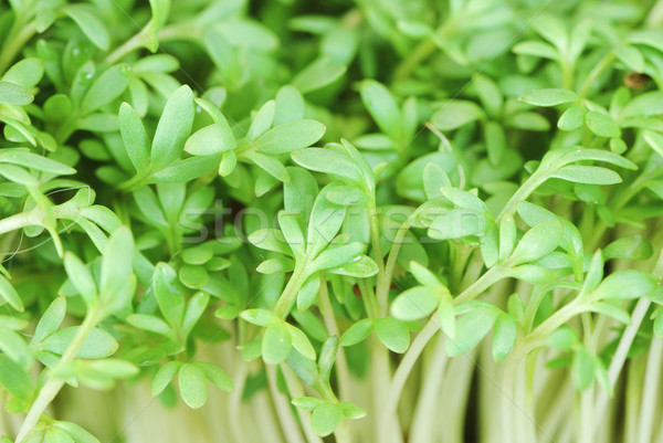 Garden Cress Sprouts Stock photo © manfredxy