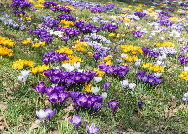 Kikerics legelő tele virágok virág tavasz Stock fotó © manfredxy
