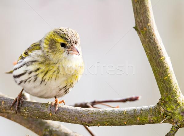 Vrouwelijke vergadering tak boom natuur vogel Stockfoto © manfredxy