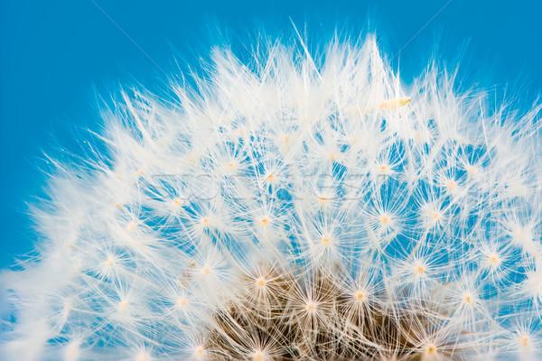 Paardebloem bloem zaden macro plant zaad Stockfoto © manfredxy