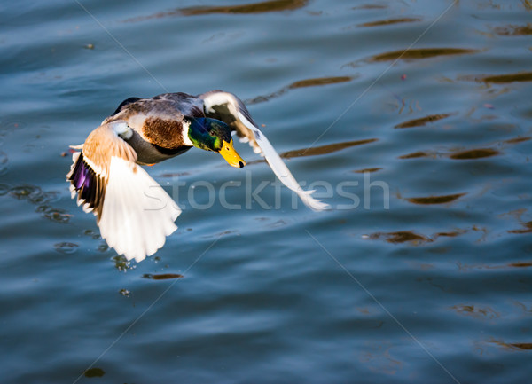 Male wild duck flying over the water Stock photo © manfredxy