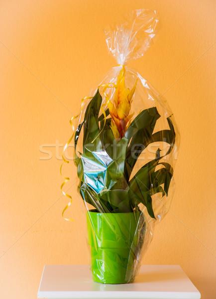 Vriesea splendens flower as present Stock photo © manfredxy