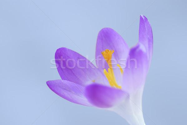 Açafrão flor primavera roxo natureza cor Foto stock © manfredxy