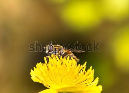 Hoverfly Stock photo © manfredxy
