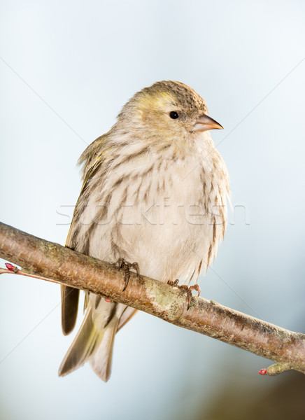 Eurasian siskin sitting on a twig Stock photo © manfredxy