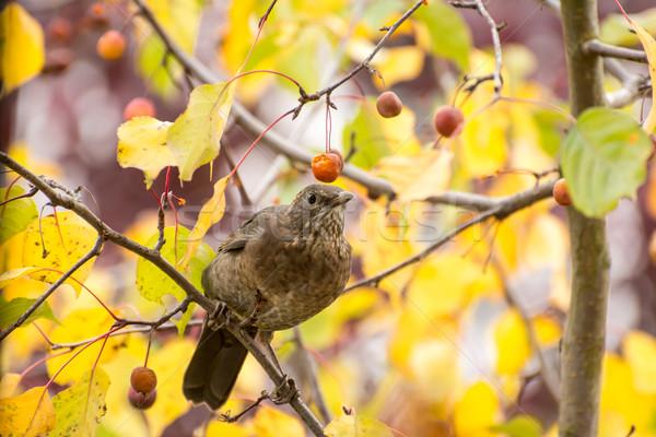 Mirlo frutas árbol sesión bayas Foto stock © manfredxy