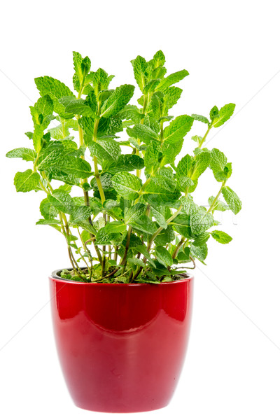Isolated mint plant in a ceramic pot Stock photo © manfredxy