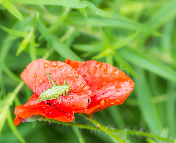 緑 グラスホッパー 座って 赤 ケシ 花 ストックフォト © manfredxy