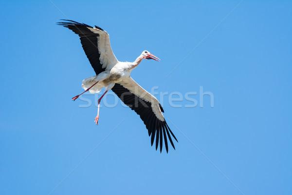 Repülés fehér gólya kék ég természet kék Stock fotó © manfredxy