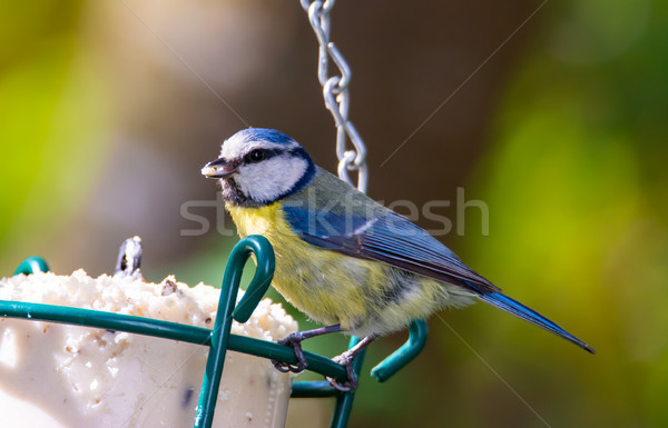 Foto stock: Azul · teta · pássaro · comida · natureza · pena