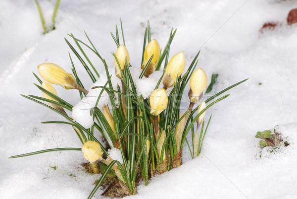 Krokus sneeuw voorjaar kiem winter Stockfoto © manfredxy