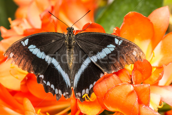 Swallowtail Butterfly Stock photo © manfredxy