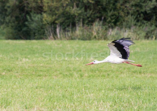 Voador branco cegonha prado Foto stock © manfredxy