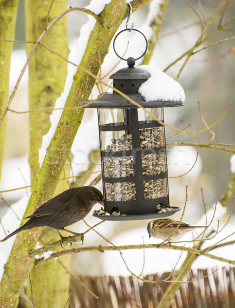 Blackbird and Sparrow at the Bird Feeder Stock photo © manfredxy
