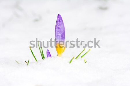 Crocus in the snow Stock photo © manfredxy
