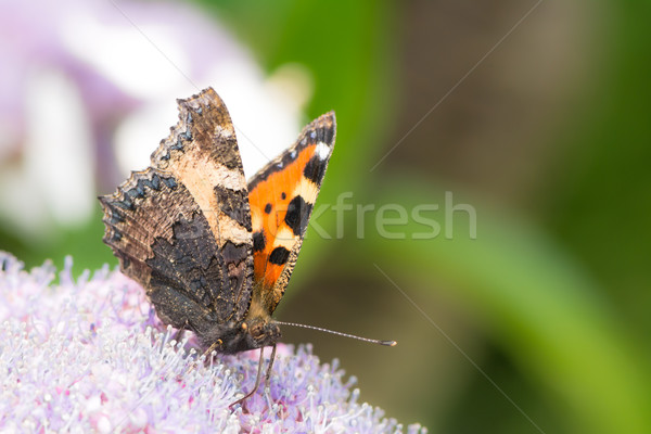 Kicsi teknősbéka kagyló pillangó Stock fotó © manfredxy