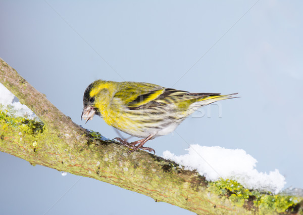 Eurasian siskin sitting on a snow covered branch Stock photo © manfredxy