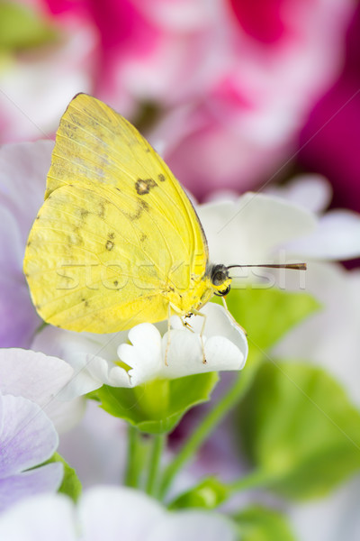 Macro of a orange-barred sulphur butterfly on a flower blossom Stock photo © manfredxy