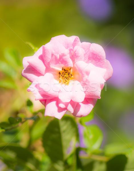 Różowy wzrosła kwiat Zdjęcia stock © manfredxy