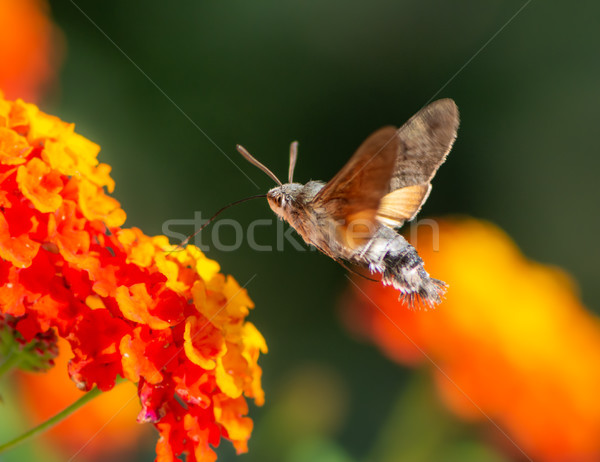 Stockfoto: Kolibrie · vliegen · bloem · oranje · natuur · mier
