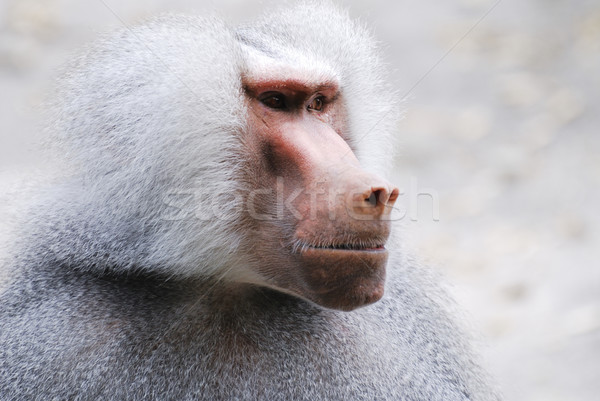 Baboon Portrait Stock photo © manfredxy